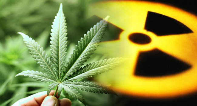 Hemp Eats Radiation, Cleans Toxic Metals FromSoil