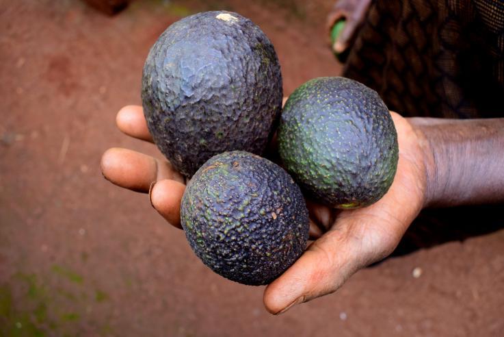 Avocados, Salmonella &Listeria