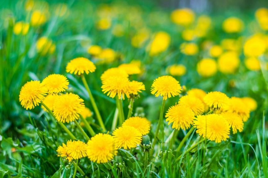 STARTLING STUDY ON COVID AND DANDELION: Common dandelion (Taraxacum officinale) efficiently blocks the interaction between ACE2 cell surface receptor and SARS-CoV-2 spike protein D614, mutants D614G, N501Y, K417N and E484K invitro